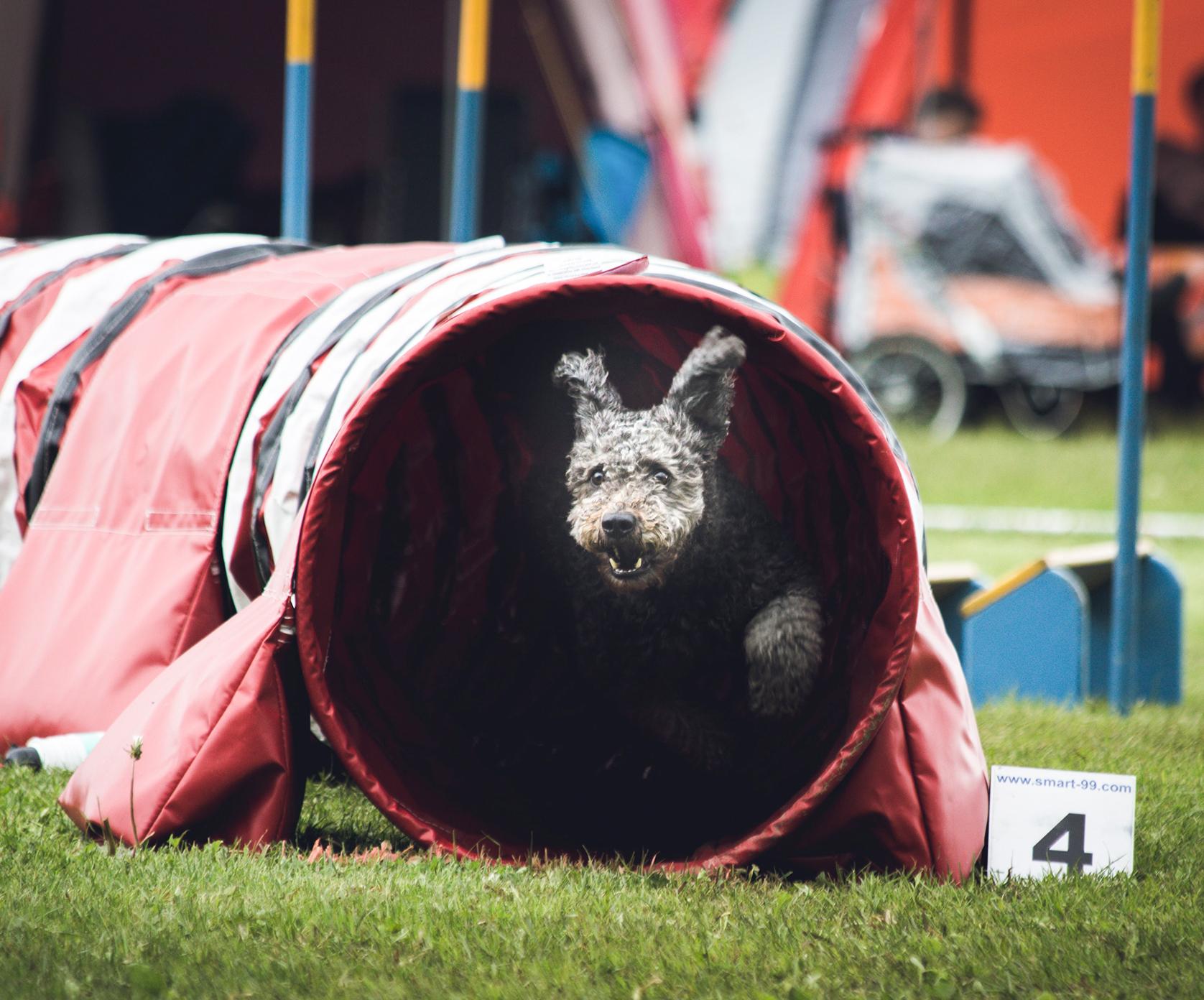 Actieve honden kunnen terecht in de Agility discipline.
